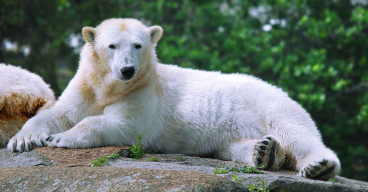 Eisbär Knut 2000er